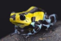 Sira poison dart frog (Ranitomeya lamasi highland form) Royalty Free Stock Photo