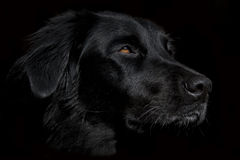 Black dog on dark background. Beautiful black dog. In this picture a black dog is confused with the dark background. The eyes and nose emerge from his black Stock Images