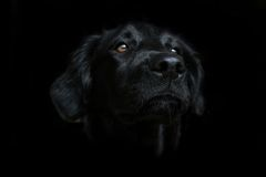 Black dog on dark background. Beautiful black dog. In this picture a black dog is confused with the dark background. The eyes and nose emerge from his black Royalty Free Stock Images