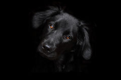 Black dog on dark background. Beautiful black dog. In this picture a black dog is confused with the dark background. The eyes and nose emerge from his black Stock Photo