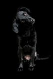 Black dog on dark background. Beautiful black dog. In this picture a black dog is confused with the dark background. The eyes and nose emerge from his black Royalty Free Stock Photography