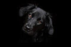 Siria de zwarte hond Stock Foto