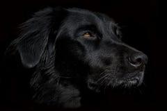 Siria de zwarte hond op donkere achtergrond Stock Afbeeldingen