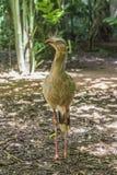 Siriema, Parque das Aves, Foz do Iguacu, Brazil. Seriema at Parque das Aves, Foz do Iguacu, Brazil Royalty Free Stock Photography