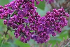 Siringa - albero lilla Immagini Stock Libere da Diritti