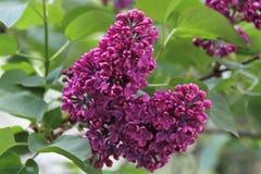 Siringa - albero lilla Immagine Stock Libera da Diritti