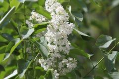 Siringa - albero lilla Fotografia Stock