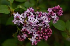 Siringa lilla sbocciante in primavera Fotografia Stock