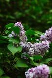 Siringa vulgaris sull'albero immagine stock