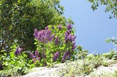 Siringa vulgaris in una parete il giorno soleggiato della molla Fotografia Stock Libera da Diritti