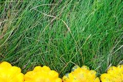 Sirops de Pattypan jaunes sur l'herbe Images libres de droits
