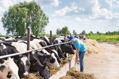 Sirva al granjero que trabaja en granja con las vacas lecheras Foto de archivo libre de regalías