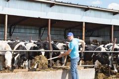 Sirva al granjero que trabaja en granja con las vacas lecheras Fotos de archivo