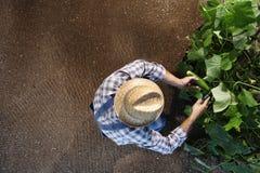 Sirva al granjero que trabaja en huerto, recoge un pepino, top Fotografía de archivo libre de regalías
