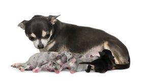 Sirva de madre a la chihuahua y a sus perritos Imagenes de archivo