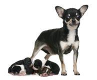 Sirva de madre a la chihuahua y a sus perritos, 4 días de viejo Foto de archivo