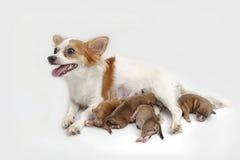 Sirva de madre a la chihuahua y a sus perritos Imagen de archivo libre de regalías