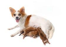 Sirva de madre a la chihuahua y a sus perritos Foto de archivo