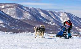 Sirva el musher que oculta detrás de trineo en la raza de perro de trineo en nieve en wint Fotos de archivo