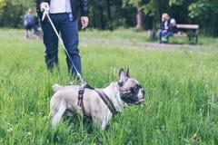 Sirva el paseo con el dogo francés en parque de la ciudad fotografía de archivo libre de regalías