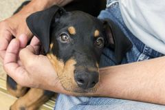 Sirva el perrito negro del pintscher del doberman de los controles con sus manos imagen de archivo libre de regalías