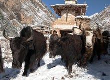 Sirva la conducción de yacs y de stupa en el pueblo de Pungmo Foto de archivo