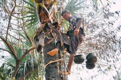Sirva la palmera que sube para extraer el aceite de palma en Bagan Foto de archivo