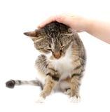 Sirva las caricias un gato en un fondo blanco Foto de archivo libre de regalías