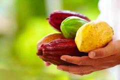 Sirva llevar a cabo las diversas clases de vainas coloridas del cacao en manos Fotos de archivo libres de regalías