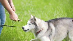 Sirva los juegos con el perro esquimal en el parque - amigos que juegan con los animales domésticos almacen de metraje de vídeo