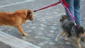 Sirva los perros que caminan en el correo en la calle de la ciudad, tomando el cuidado de animales domésticos pedigríes almacen de metraje de vídeo