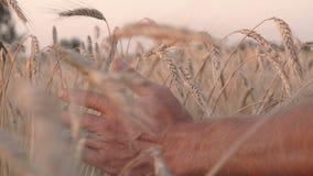 Sirve la mano entre los oídos del trigo almacen de metraje de vídeo