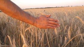Sirve la mano entre los oídos del trigo almacen de video