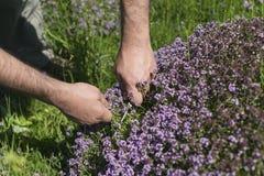 Sirve las manos que recogen el tomillo de prado de la montaña Imagen de archivo libre de regalías
