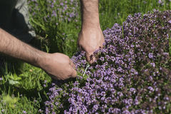 Sirve las manos que recogen el tomillo de prado de la montaña Imagenes de archivo