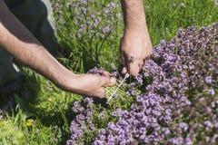 Sirve las manos que recogen el tomillo de prado de la montaña Foto de archivo libre de regalías