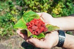 Sirve las palmas por completo del idaeus fresco-escogido del Rubus de las frambuesas del bosque que miente en una hoja de la fram Fotos de archivo