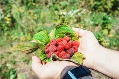 Sirve las palmas por completo del idaeus fresco-escogido del Rubus de las frambuesas del bosque que miente en una hoja de la fram Imágenes de archivo libres de regalías