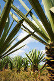 Sisal (Agave sisalana) plantation. In Tanzania stock images