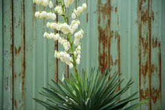 Sisal flower. Close up of sisal flower stock images