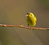 Siskin. Male Siskin perched on a branch Royalty Free Stock Photo