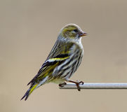 Siskin Royalty Free Stock Photography