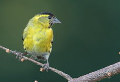 Siskin. Photographie stock