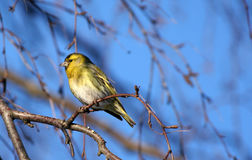 Siskin. Small siskin sitting on the birch branch Stock Image