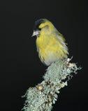 Siskin鸟 免版税库存图片