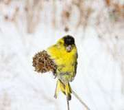 Siskin Stock Photos