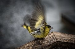 Siskin Photographie stock