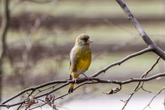 Siskin Royalty Free Stock Image