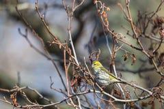 Siskin bird Royalty Free Stock Images