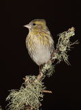 Siskin  bird. Stock Photo